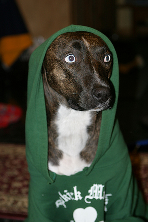 Large_dog_in_hoodie